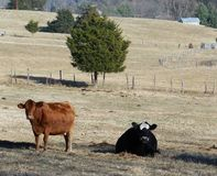 Brown and Black farm cows Royalty Free Stock Photos