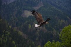 Brown and Black Flying Hawk Stock Photos