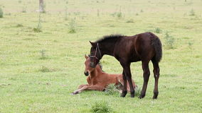 Brown and black foal. On field stock footage
