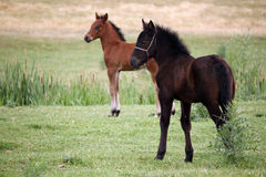 Brown and black foal Royalty Free Stock Image