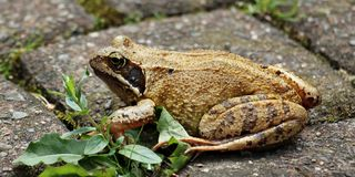 Brown and Black Frog Stock Image