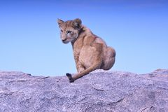 Brown Black and Gray Lioness Sitting on Gray Concrete Platform during Daytime Stock Photo