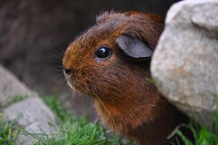 Brown and Black Guinea Pig Stock Photos