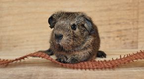 Brown Black Guinea Pig Beside Brown Strip Stock Photography
