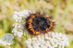 Brown black hairy catepilar Royalty Free Stock Photography