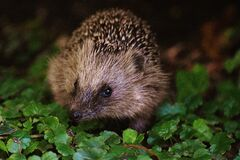 Brown and Black Hedgehog on Grass Royalty Free Stock Photography