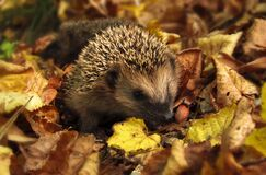 Brown and Black Hedgehog Standing on Brown Dry Leaved Stock Photo