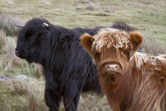 Brown and black Highland cattle Royalty Free Stock Photos