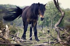 Brown and Black Horse Stock Image