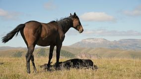 A brown and black horse grazes in an alpine meadow surrounded by its herd with small foals. The farm. Horse breeding. 4k stock video