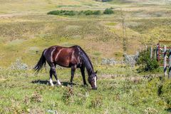 Horse grazing, Glenbow Ranch Provincial Recreation Area, Alberta, Canada. A brown and black horse grazing on grass in a field Stock Photos