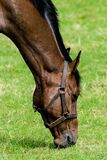 Brown and Black Horse on Green Grass Field Royalty Free Stock Image
