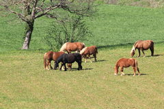Brown and black horses on a green meadow Stock Image