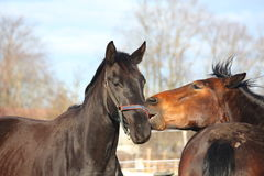 Brown and black horses playing Royalty Free Stock Photography