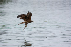 Brown black kite hold fish after hunt. Milvus migrans Stock Photos