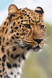 Brown and Black Leopard Animal Royalty Free Stock Photography