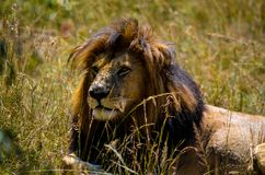 Brown and Black Lion Royalty Free Stock Photo