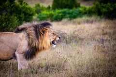 Brown and Black Lion on Brown Grass Field stock photos