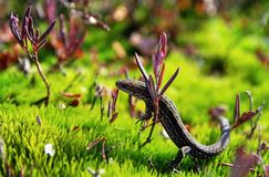 Brown and Black Lizard on Green Grass Stock Photo