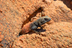Brown and Black Lizard on Stone Stock Photos