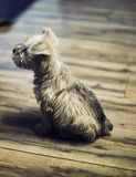 Brown and Black Long Coated Small Dog on Grey Wooden Plank Stock Images