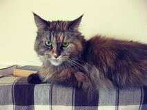 Brown Black Long Fur Cat Stock Photography