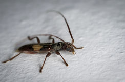 Brown and black longhorn beetle on a wall Stock Image