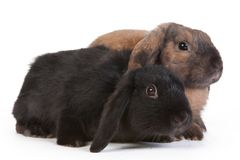 Brown and black lop eared rabbits Royalty Free Stock Photos