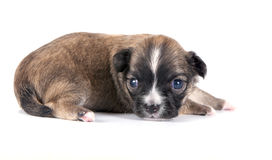 Brown with black mask Chihuahua puppy close-up Royalty Free Stock Image