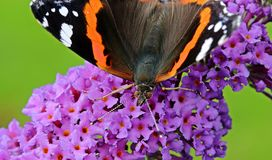 Brown Black Orange and White Butterfly on Purple Flower Stock Photos