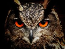 Brown and Black Owl Staring Royalty Free Stock Images