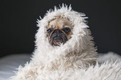 Brown and Black Pawn Pug Wearing White Fur Royalty Free Stock Images