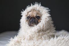 Brown and Black Pawn Pug Wearing White Fur Royalty Free Stock Photography