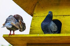 Brown and black pigeon in the cage. royalty free stock images