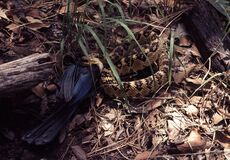 Brown and Black Python on Ground Royalty Free Stock Photography