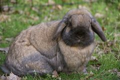 HANDSOME BROWN LOP BUNNY. Brown and black rabbit with floppy ears is a small breed of lop bunny Stock Images