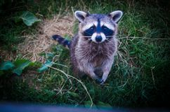 Brown and Black Raccoon Photo royalty free stock photography