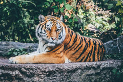 Brown and Black Reclining Tiger Stock Image