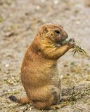 Brown and Black Rodent Eating Green Leaves during Daytime Royalty Free Stock Image