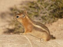 Brown and Black Small Squirrel Royalty Free Stock Images