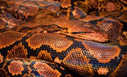 Brown and Black Snake Royalty Free Stock Photos