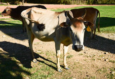 Brown and black species calf Thailand. Curious cow staring at the photographer Royalty Free Stock Photography