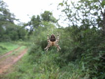 Brown-black spider in its web in Swaziland. Brown-black spider sitting in its web in Swaziland Stock Photos