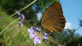 Brown black spotted butterfly feeding. On a purple summer flower Stock Photo