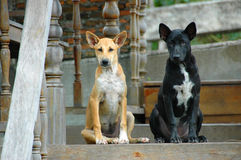 2 brown and black street dogs. Friend Royalty Free Stock Images