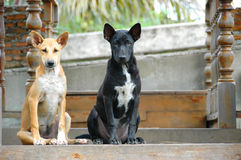 2 brown and black street dogs. Friend Stock Photo