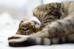 Brown and black striped cat lounging on a pillow royalty free stock image