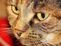 Brown and Black Tabby Cat Royalty Free Stock Images