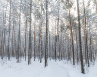 Brown and Black Tall Trees Covered With Snow during Daytime Stock Images