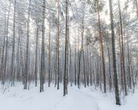 Brown and Black Tall Trees Covered With Snow during Daytime Royalty Free Stock Photo